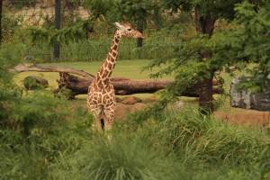 IMG_8167-giraffe-CB-neck