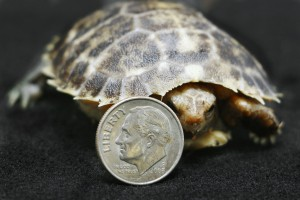 _MG_1516-baby Forsten's Tortoise