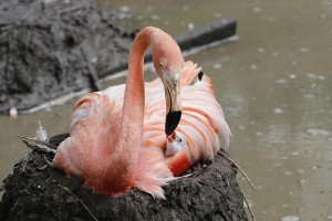 _MG_1935-Caribbean flamingo chick-CB