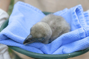_MG_2137-white-backed vulture chick-CB