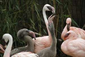 _MG_8812-lesser flamingo chicks-CB
