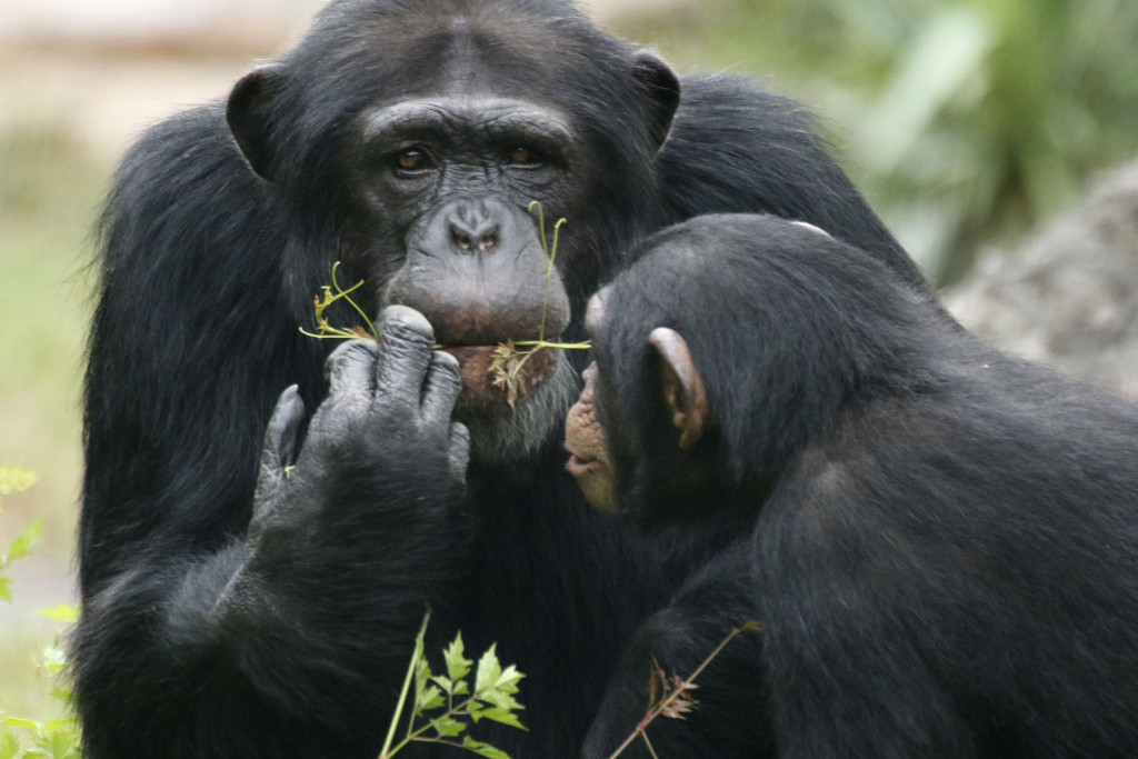 Chimp Mookie is known for his playful antics with keepers.
