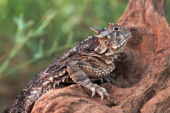 IMG_0561 TX Horned Lizard CS