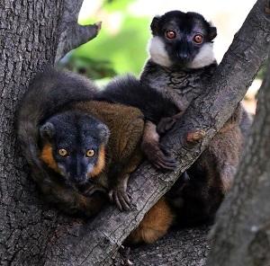 img_1156-collared-lemurs-cs