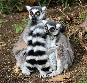 img_6719-ring-tailed-lemurs-cs