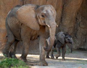 Mlilo and baby calf Ajabu explore the Tembo habitat together.