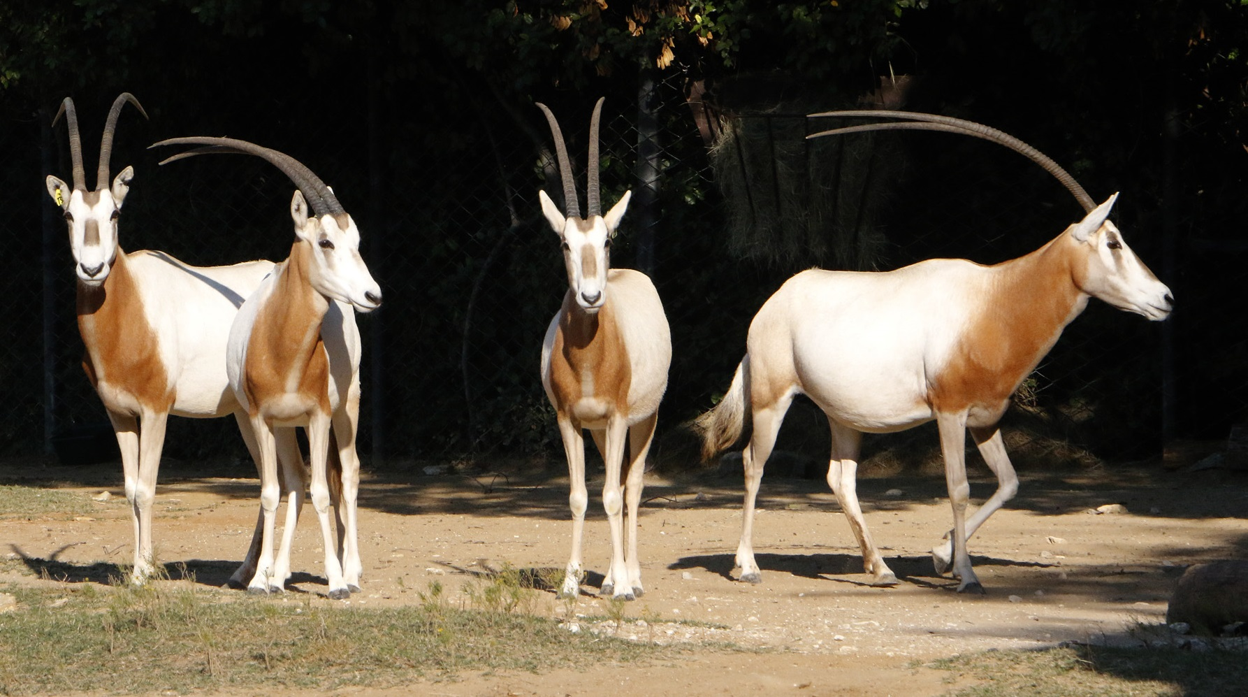 _mg_1636-scimitar-horned-oryx-cb