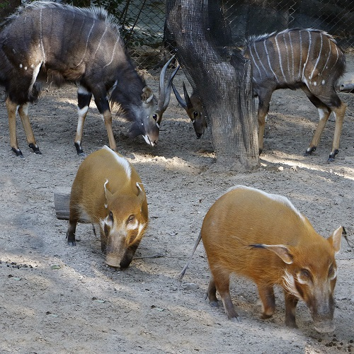 _mg_1881-nyala-rr-hogs-cb