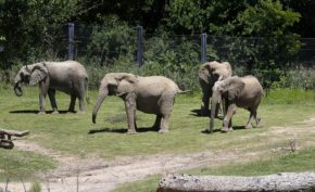 Congo, Kamba, Tendaji and Zola graze together in the Giants of the Savanna habitat.