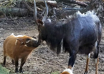 A nyala and red river hog share an inquisitive moment on the first day of face-to-face intros. (Image: Mammal Curator Keith Zdrojewski)