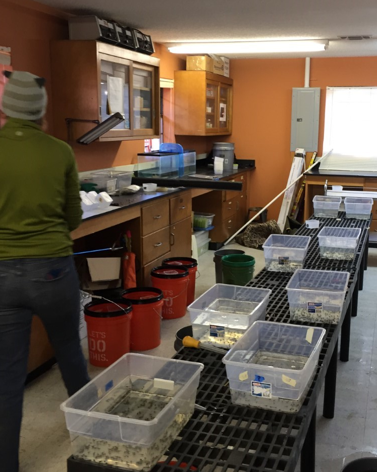 The tadpoles await transport in the research lab at the DeSoto National Forest.