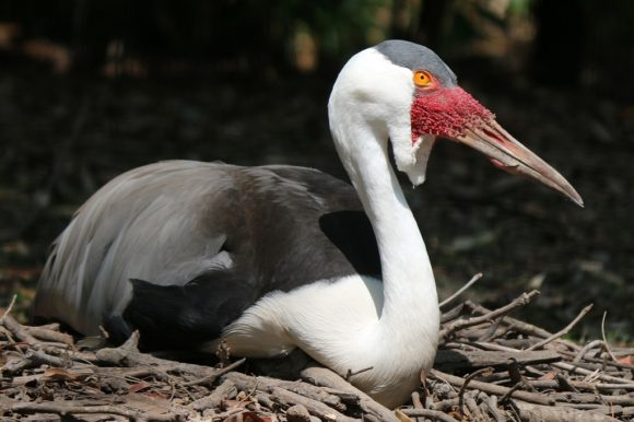 IMG_2819 Wattled Crane on nest CS