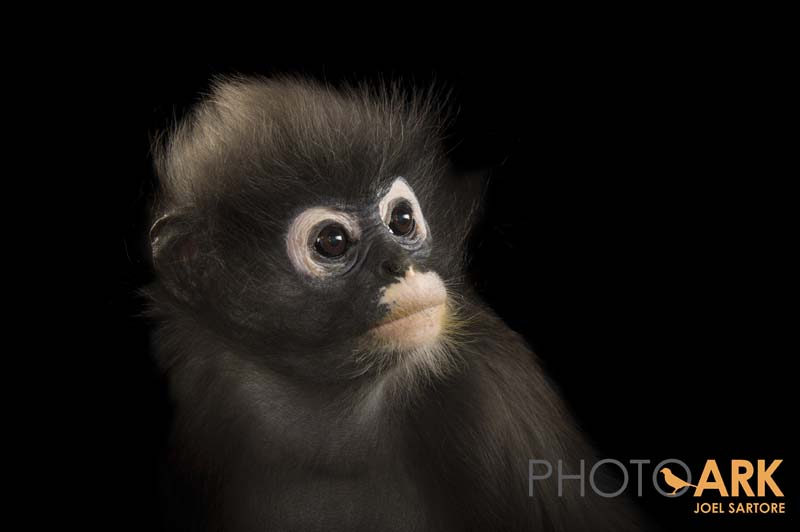 Dallas Zoo's dusky leaf monkey to be featured in National Geographic Photo Ark exhibition./ © Photo by Joel Sartore/National Geographic Photo Ark