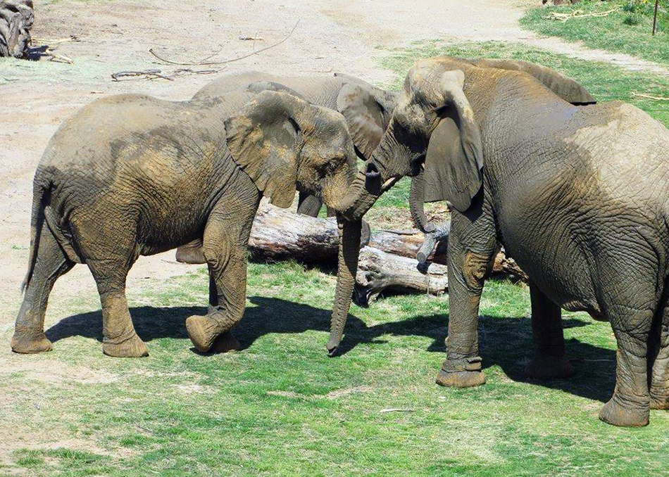 Nolwazi, Jenny and Zola rub their trunks on one another./Jared Moeller
