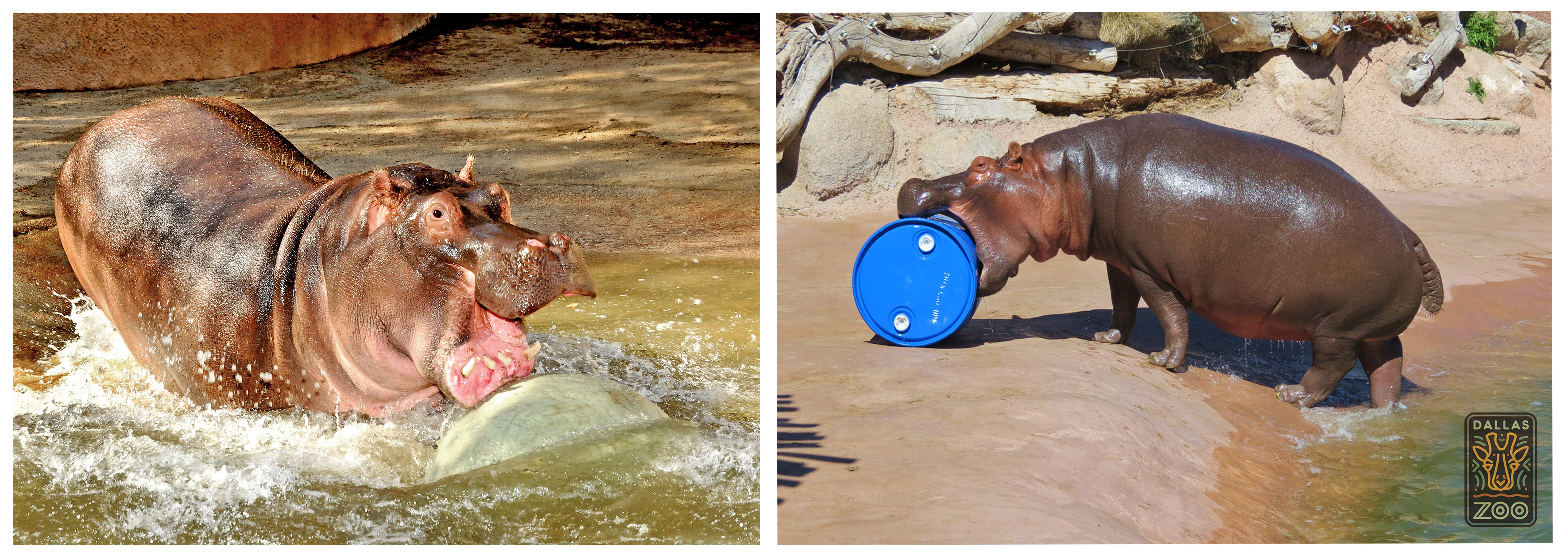 hippos-horizontal
