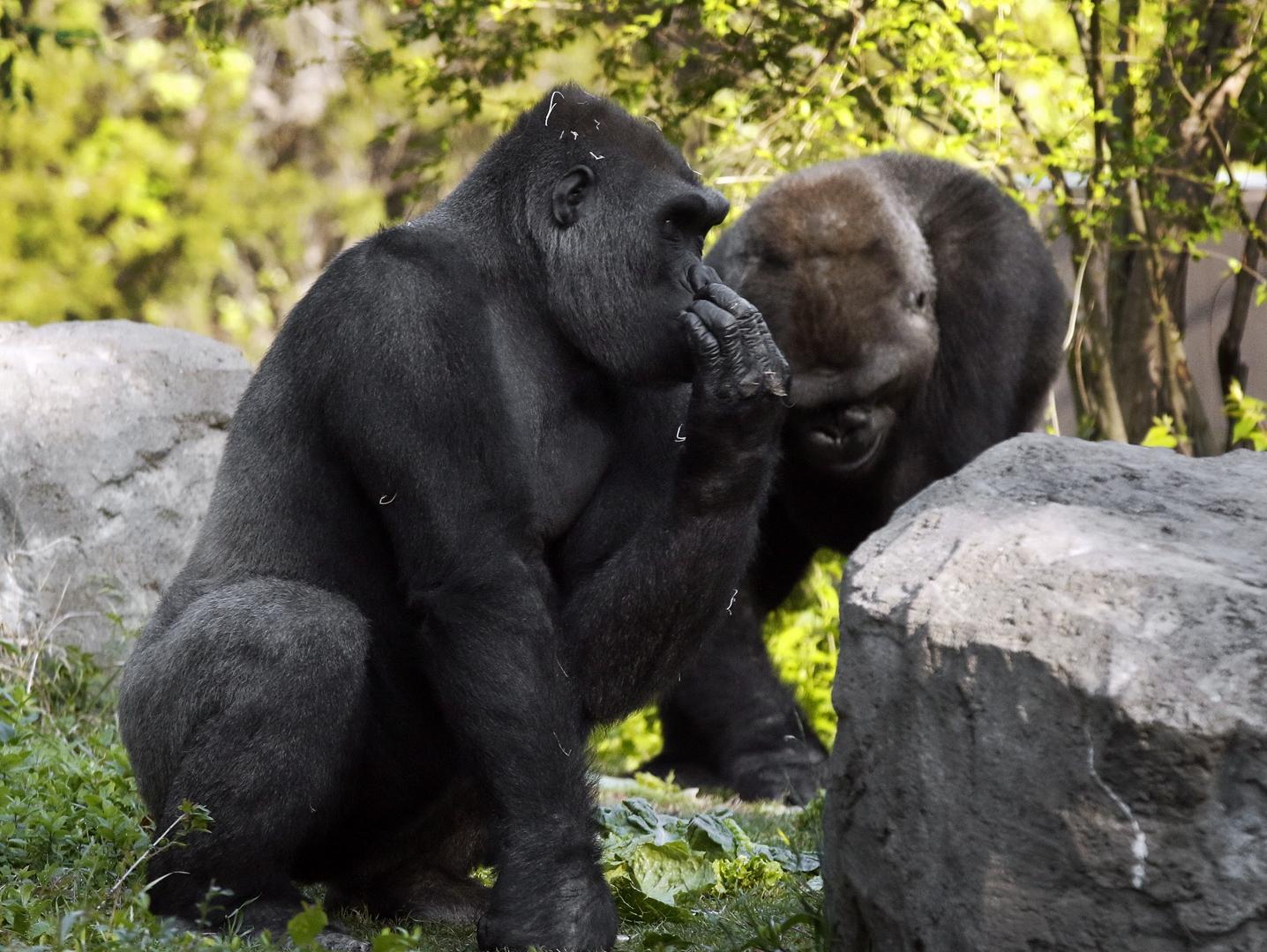 Gorillas telling secrets-CB