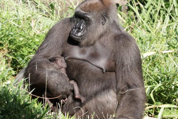 7979bd29d27 baby gorilla | Dallas ZooHoo!