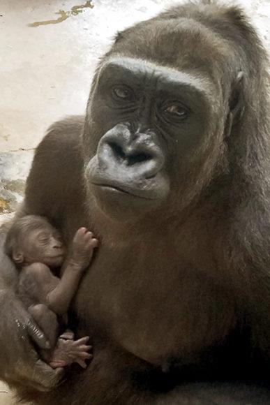 9a69aec398f Dallas Zoo welcomes another baby gorilla!  | Dallas ZooHoo!