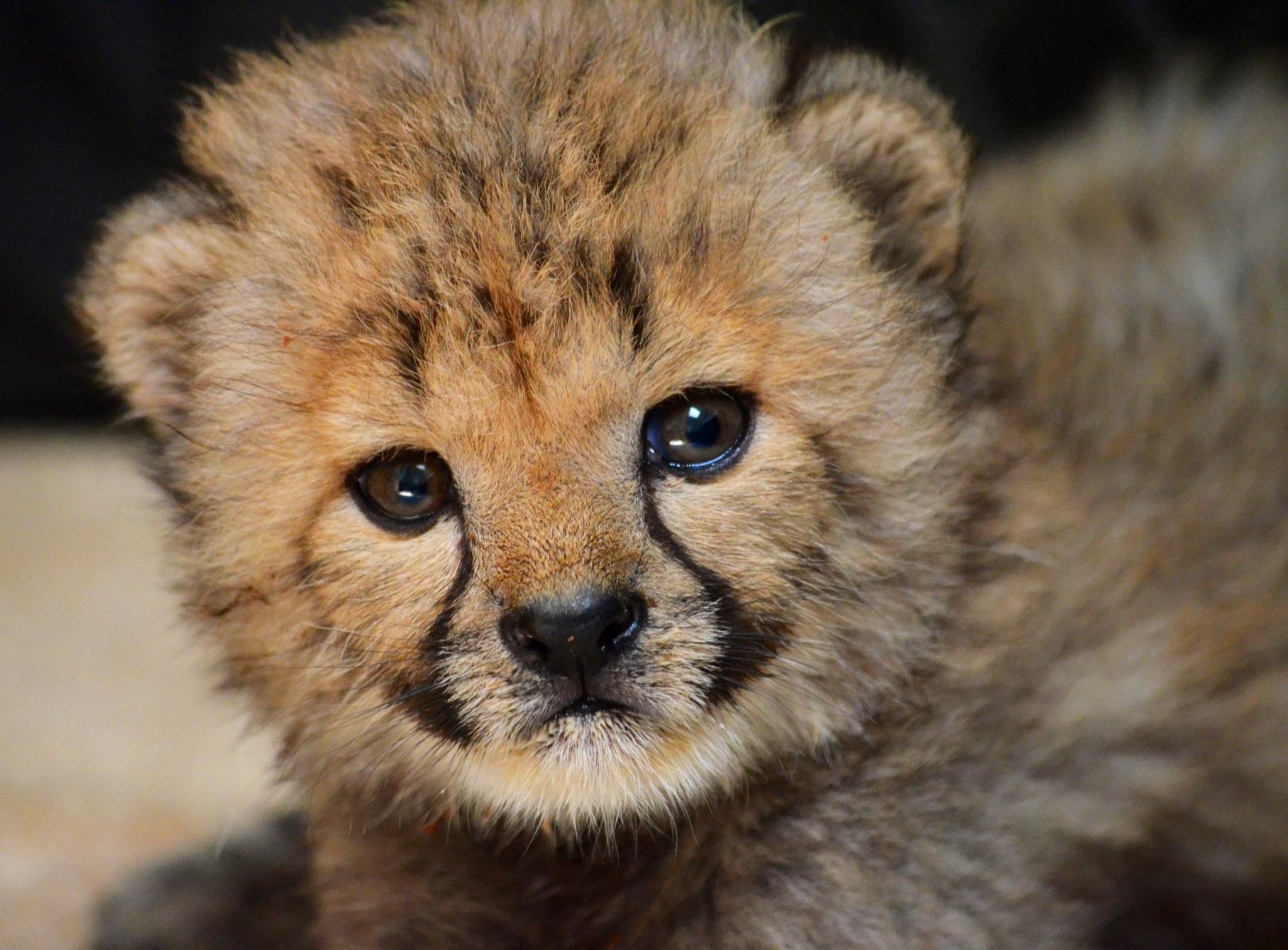 cheetah dallas zoohoo