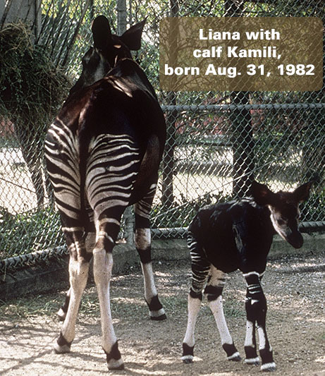 Liana mother (born at Dallas Zoo Dec 1974) with Kamili calf born August 31, 1982.