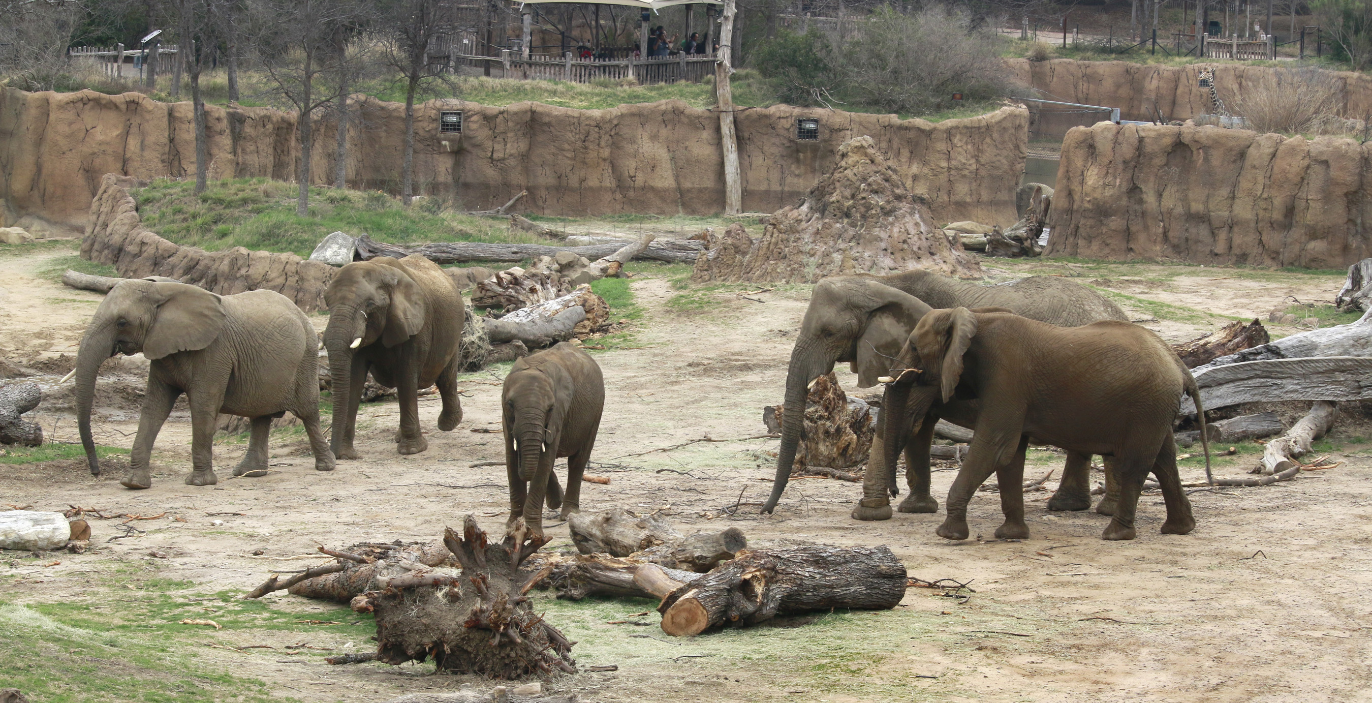 The elephants gather on the Savanna.